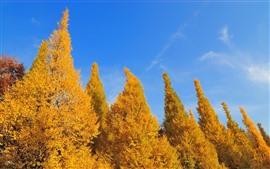 壁紙のプレビュー 黄金の木、青い空、秋