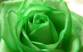 Preview wallpaper Green petals rose close-up, flower