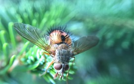 Insect, housefly, hazy background