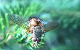 Insecto, mosca doméstica, fondo brumoso