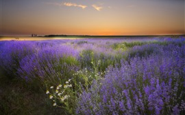 Preview wallpaper Lavender flowers, countryside, dusk