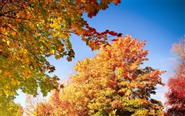 Maple trees, yellow leaves, sky, autumn
