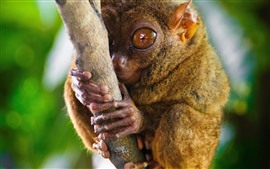 Preview wallpaper Monkey, tarsier