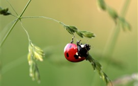 One red ladybug, grass