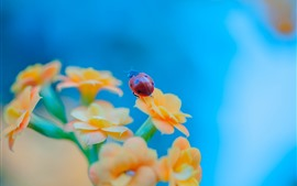 Preview wallpaper Orange flowers, ladybug, blue background