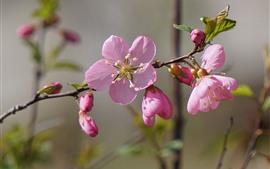 Flores de pêssego rosa florescem, galhos, primavera