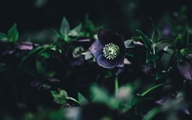 Preview wallpaper Purple flowers, green leaves, darkness