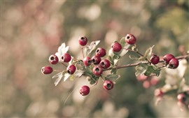 Красные ягоды, веточки, листья, туманный фон