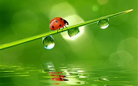 Preview wallpaper Red ladybug, green grass, water droplets, water