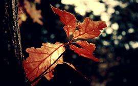 Красные листья, дерево, туманный фон