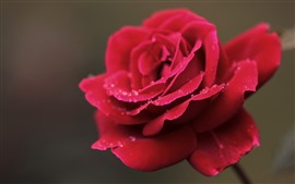Red rose, water droplets, dew