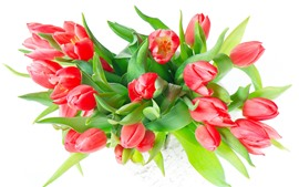 Red tulips, white background, green leaves