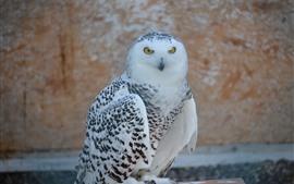 Preview wallpaper Snowy owl, bird