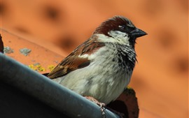 Preview wallpaper Sparrow, bird, stay