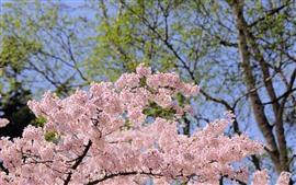 春、ピンクの花が咲く、木