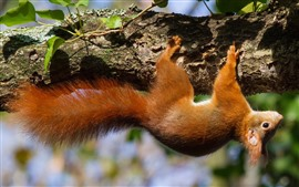 Preview wallpaper Squirrel climb tree, wildlife