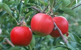 Три красных яблока, свежие фрукты, зеленые листья