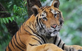 Preview wallpaper Tiger, look, eyes, face, wildlife
