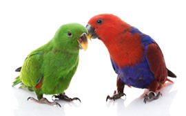 Preview wallpaper Two parrots, colorful feathers, white background
