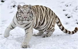 Preview wallpaper White tiger, snow, look, wildlife