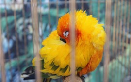 Preview wallpaper Yellow feather parrot sleep in cage