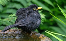 Black feather bird, water