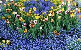Colorful tulips and little blue flowers, garden