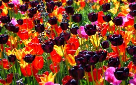 Preview wallpaper Dark purple tulips, red and yellow