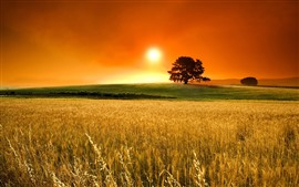 Golden field, tree, sunset, glare