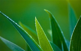 Green leaves, grass, dew