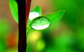 Green leaves, water droplets, stem