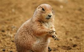 Marmota, patas