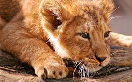 Filhote de leão, descanso, rosto