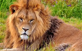 Preview wallpaper Lion, look, rest, grass