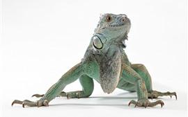 Lagarto, iguana, fondo blanco.