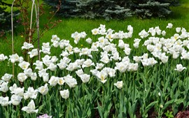 Preview wallpaper Many white tulips, garden