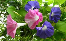 Preview wallpaper Morning glory, purple and pink flowers