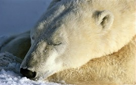 Preview wallpaper Polar bear in sleep