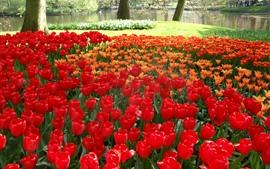 Tulipanes rojos y naranjas, parque, árboles, prado verde
