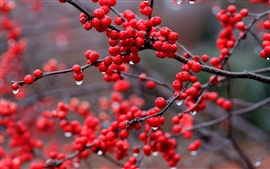 Red berries, rowan