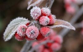 미리보기 배경 화면 붉은 열매, 눈, 서리, 겨울