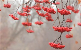 Preview wallpaper Red berries, twigs, dew