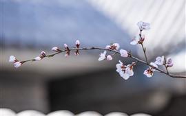 Красные персиковые цветы, веточки, весна, туманный фон