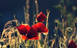Preview wallpaper Red poppies, flowers, summer