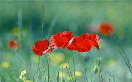 Preview wallpaper Red poppies, green grass, flowers