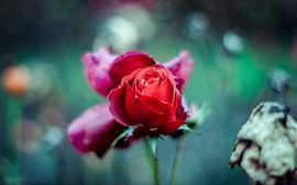 Preview wallpaper Red rose bud, hazy background