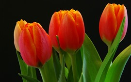 Red tulips, green leaves, black background