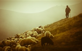 Sheep, grazing, boy, slope, morning