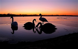 Preview wallpaper Some swans, sunset, river, silhouette