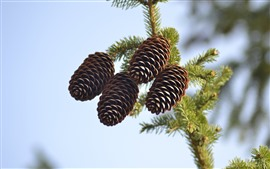 Spruce nuts